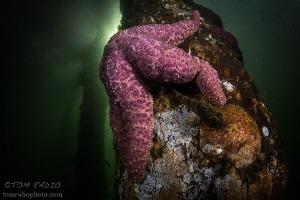 Warty Seastar Puget Sound, WA, U.S.A. by Tom Radio