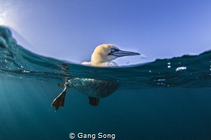 South Africa Gannet by Gang Song