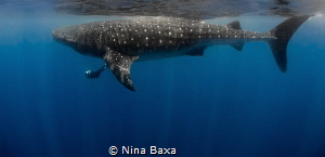 International Whale Shark Day - unforgettably beautiful g... by Nina Baxa