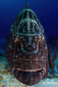 These large Black Grouper hang around with the many shark... by Steven Anderson