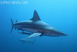 Oceanic blacktip. Aliwal Shoal, South Africa. Canon 7D, s... by Phil Wills