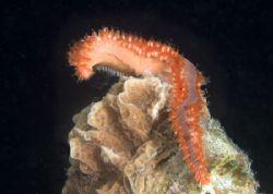 Spawning bearded fireworm by Maryke Kolenousky