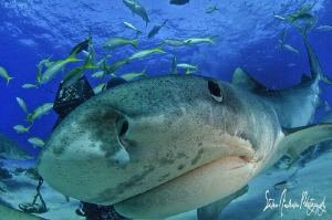 Emma the world famous Tiger Shark wondering who's behind ... by Steven Anderson
