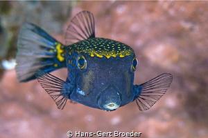 Boxfish Bunaken island, Indonesia by Hans-Gert Broeder