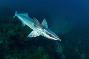 free-swimming remora by Paul Colley
