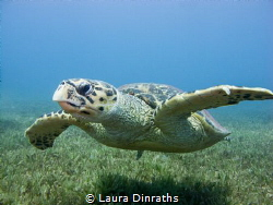Male hawksbill turtle swimming over seagrass by Laura Dinraths