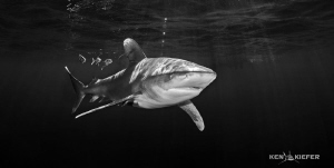 Oceanic Whitetip just below the surface with pilotfish. ... by Ken Kiefer