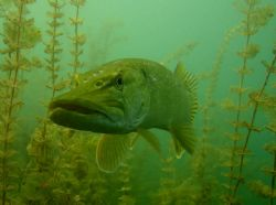 pikefish in alake in germany , canon S70 by Beate Krebs