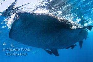 Whaleshark Encounter, Isla Contoy Mexico by Alejandro Topete