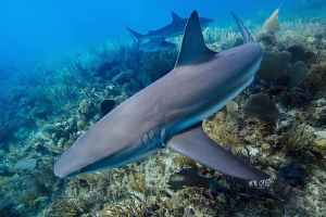 Reef shark close pass by Paul Colley