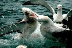 Giant Albatros Fighting by Jayne Dennis