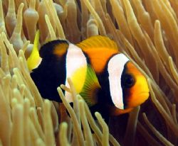Clarkes Anemone Fish, Ningaloo Reef by Penny Murphy