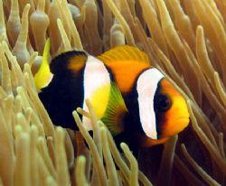 Clarkes Anemone Fish, Ningaloo Reef by Penny Murphy