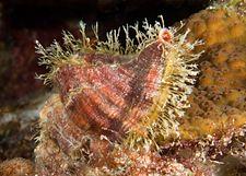 Atlantic hairy triton, Curacao by Maryke Kolenousky