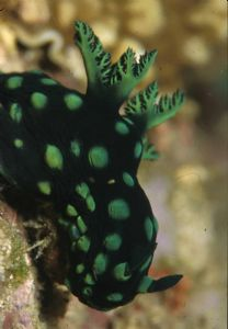 Nudibranch-Phillipines by Luc Eeckhaut