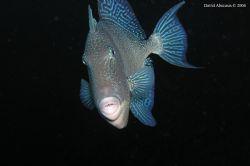 grey triggerfish shot at the Azores by David Abecasis
