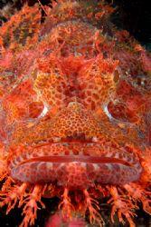 Portrait of a scorpion fish. Puerto Galera, Mindoro. by Ugo Gaggeri
