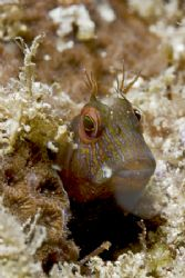Blenny is always a blenny... by Francisco Nakahara