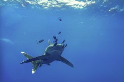 longimanus at the elphinstone reef - NikD2x - i do love t... by Manfred Bail