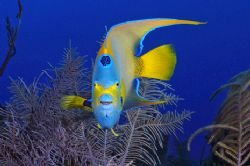Queen angelfish. Turks & Caicos by Andy Lerner