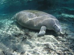 (Manatee In Gin Clear Water) Camera olympus c-5050 Ikelit... by Ray Eccleston