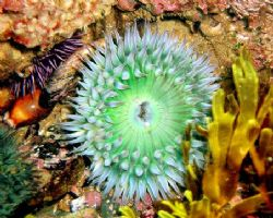 Green anemone w/ cowries & urchin. Crystal Cove, CA. by Dallas Poore