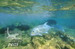 Giant trevally feeding reef shallows canon eos 5 velvia ... by Justin Bauer