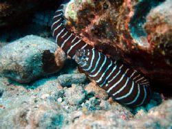 Zebra Eel with octopus just behind hiding in rock. Don't ... by Jeffrey M Owen