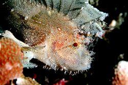 Leaffish.D70,105mm. Kapalai,Sabah,Malaysia by Frankie Tsen