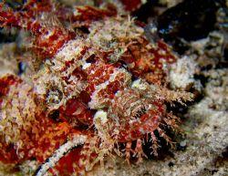 Scorpionfish at Wakatobi Reef by Beate Krebs