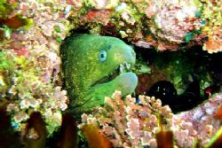 Green Moray - Shaw's Cove, CA. by Dallas Poore
