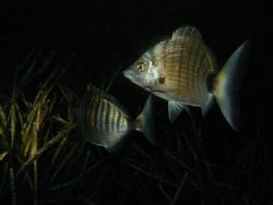 Bream at night in their posedonia garden. Combination of ... by Steven Withofs