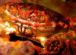 Crab Tauranga, New Zealand by Jayne Dennis