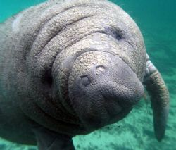 Manatee Up Close.Camera olympus c-5050, Ikelite Housing,W... by Ray Eccleston