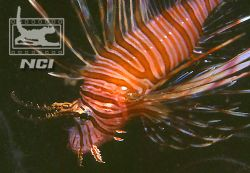 lionfish exmouth love the colour in the fins in this one ... by Justin Bauer