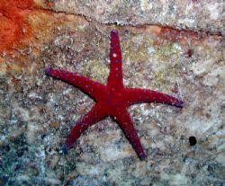 Red Star Fish by Ryan Stafford