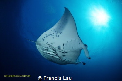 I love Manta ... by Francis Lau