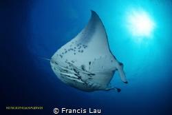 I love Manta ... by Francis Lau