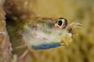 Curious blenny by Dmitry Starostenkov