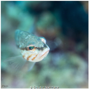 Very curious fish. by Giroudon Jean-Pierre