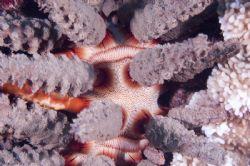 Endemic Hawaiian sea urchin, Prionocidaris hawaiiensis. N... by Patrick Reardon