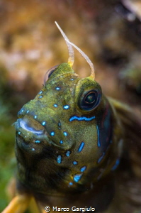 Sfinx Blenny by Marco Gargiulo