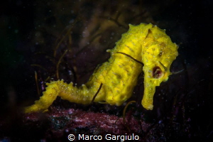Blind Yellow Seahorses by Marco Gargiulo