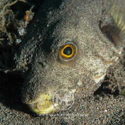 Lined pufferfish found covered in sand, a not so usual wa... by Arno Enzo