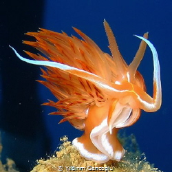 Dancing seaslug by Yildirim Gencoglu
