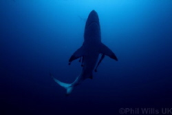 Oceanic blacktip, Aliwal shoal, South Africa by Phil Wills