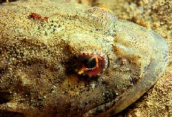 Short-spined sea scorpion. Sound of Mull. F90X,60mm. by Mark Thomas