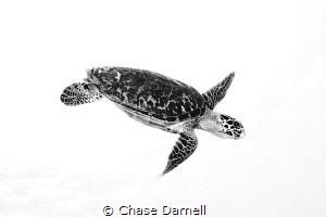 """""""Standing Out"""" Hawksbill Turtle isolated in a white back... by Chase Darnell"""
