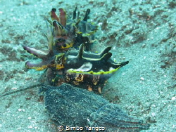 Flamboyant Cuttlefish having their ritual courtship by Bimbo Yangco