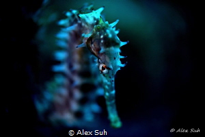 Macro photo of a Seahorse that was taken up close. by Alex Suh